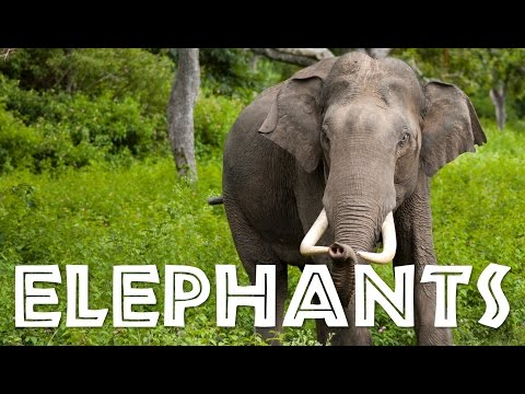 Elephants for Children: Learn All About Elephants - FreeSchool