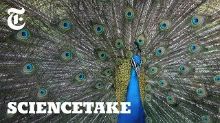 Watch: Peacocks Shake and Rattle to Attract Females   ScienceTake