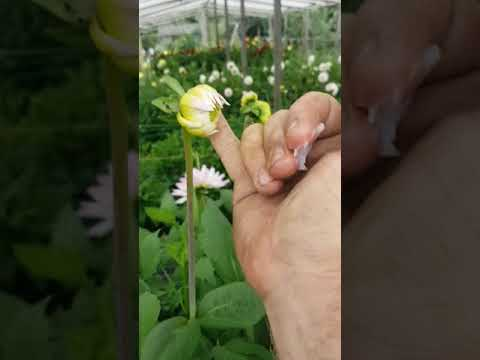 How to stop earwigs eating your Dahlias