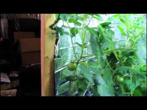 Update Cherry Tomato Dec 10/2011