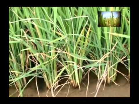 Get important information on paddy crop diseases