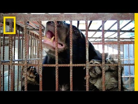The Fight to Stop Illegal Bear Trafficking in Southeast Asia   National Geographic