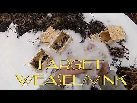 Weasel and Mink Trapping