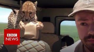 The moment a cheetah joined a safari - BBC News
