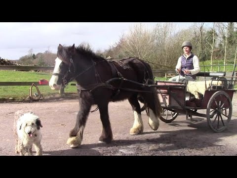 How To Harness A Horse With Breast Plate And Collar (And Hitch To A Gig, Cart)