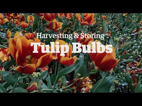 Harvesting and Storing Tulip Bulbs