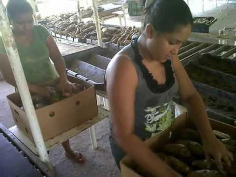 Agricola MC exportaciones 2012 malanga Coco y Blanca