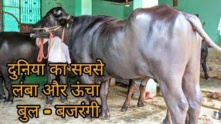 murrah bull Videos - votube net