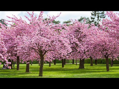 Amazing Cherry Blossoms ( Sakura ) 4K UHD | High Park
