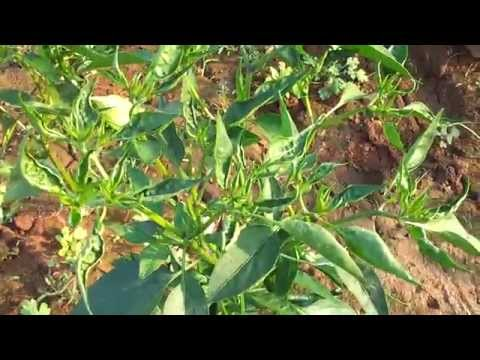 THRIPS & MITES damage in CHILLIES
