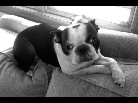 Boston Terrier - Miles