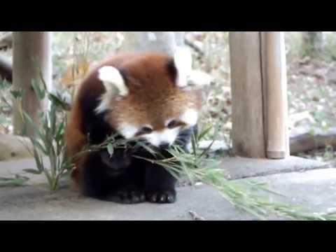 Baby red panda eat bamboo.笹を食べるレッサーパンダの赤ちゃん。