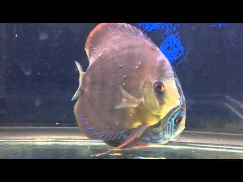 Discus Fry - first week after eggs laid