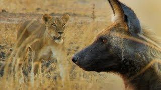 Wild Dogs vs Lioness | BBC Earth