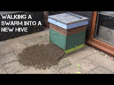 Walking A Swarm Of Bees To A New Hive - TIMELAPSE