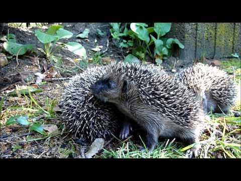 Hedgehog family in the garden 2010