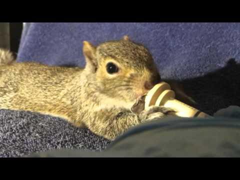 Squirrel baby eats formula
