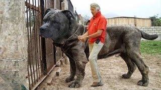 أضخم 5 كلاب حراسة في العالم، لن تصدق حجمها الحقيقي