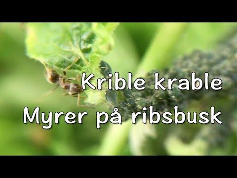 Krible krable - myrer på ribsbusk