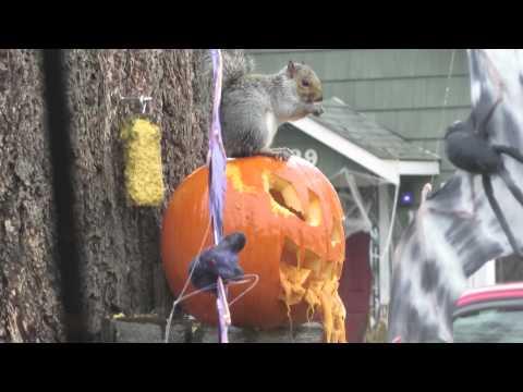 Squirrel eating my Halloween pumpkin!!!