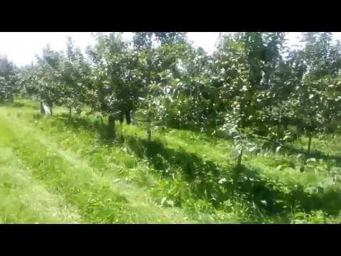 Pruning an Apple Orchard at Makikihi