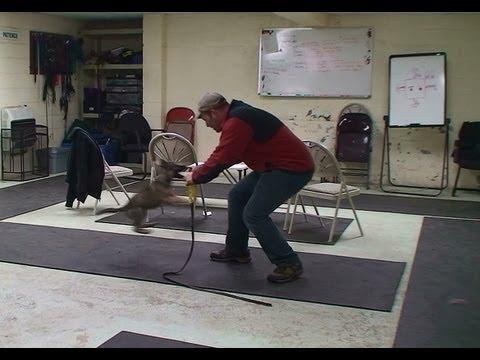 Testing a German Shepherd Puppy for Work Prospect www.K9-1.com