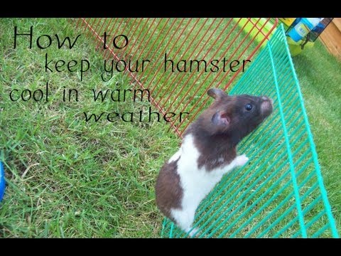 How to keep your hamster cool in warm weather
