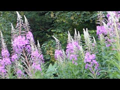 Rose Bay Willow Herb - Sigurskúfur - Villijurtir - Sumarblóm - Illgresi