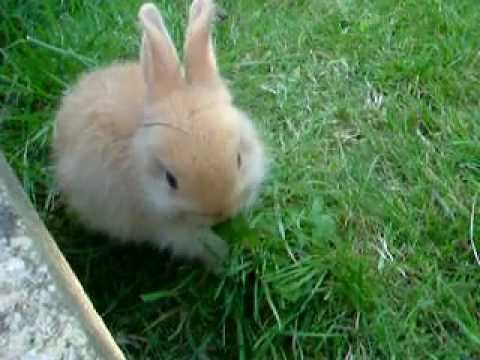 CUTE SMALL BABY RABBIT chewing dandelion VIRAL