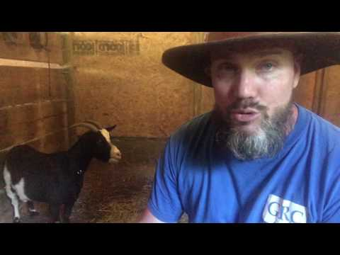 Signs your goat will be in labor soon!
