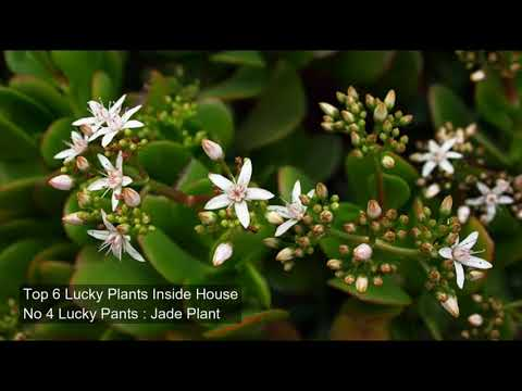 Top 6 Lucky Indoor Plants | Lucky Plants For Home 2017 | Good Luck Plants For Nepal Home