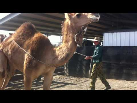 Day 1. Camel with no previous contact, roping & haltering
