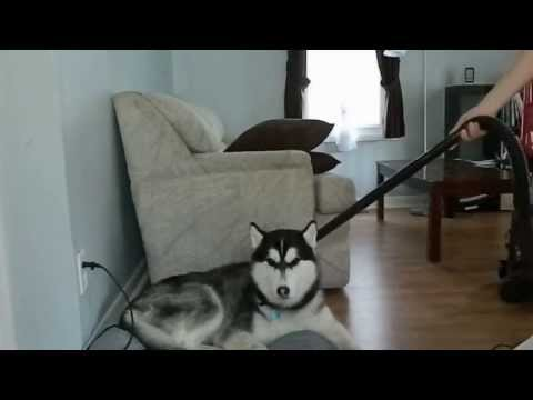 How to deal with a shedding husky