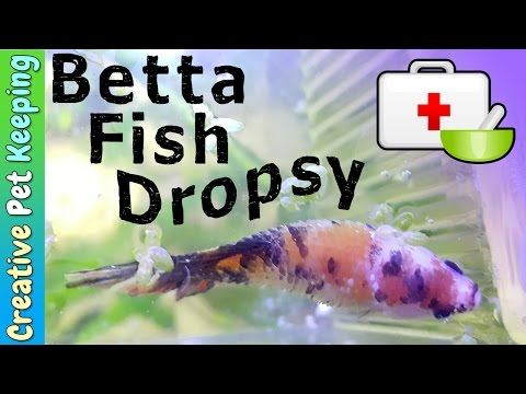 Dropsy and Betta Fish Diseases | Sick Betta Update