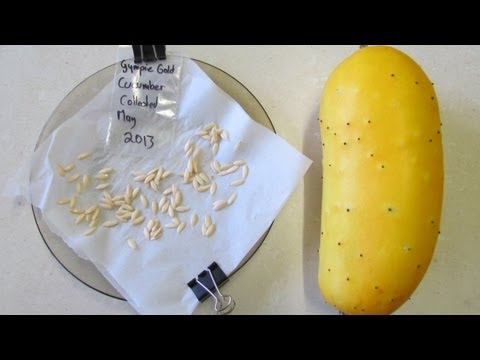 How to save cucumber seeds to grow & seed sharing..