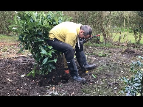 Relocating mature shrub on your own, transplanting a laurel