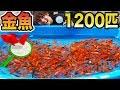 金魚1200匹で本気の金魚すくい対決してみた!!!