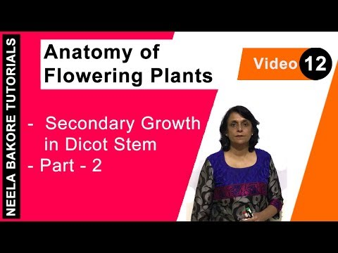 Anatomy of Flowering Plants - Secondary Growth in Dicot Stem - Part - 2