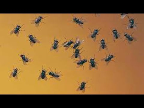Home Remedies To Avoid Houseflies