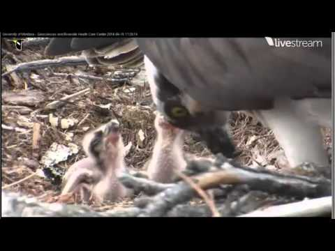 2014 Hellgate Osprey Cam - 6/15/14 - Chicks One and Two have a Meal
