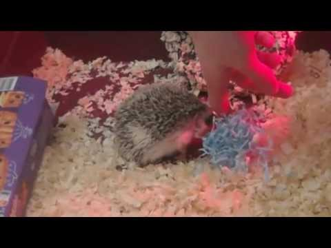 Playing With Pet African pygmy hedgehog video