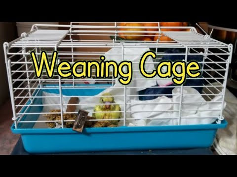 Baby Budgie Moves to a Weaning Cage