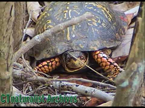 How To Find Box Turtles - CTnaturalist