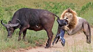 Harsh Life With Lion! Buffalos Takes Revenge on Lion Cubs After Fail To Save Baby – Lion vs Hyenas