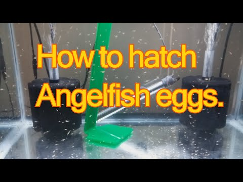 How to hatch angelfish eggs on your own.