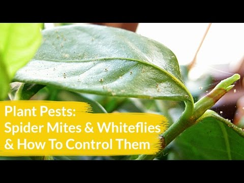 Plant Pests: Spider Mites & Whiteflies & How To Control Them
