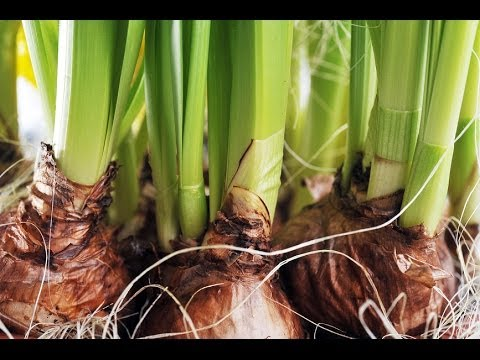 Forcing Bulbs for Winter Color -- Indoors