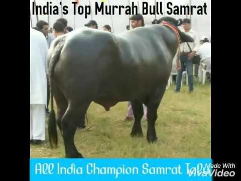 All India champion Murrah bull buffalo Samrat TALU Mother milk 23 kg