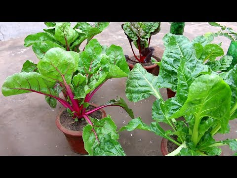 Growing swiss chard in pots on roof-Urdu