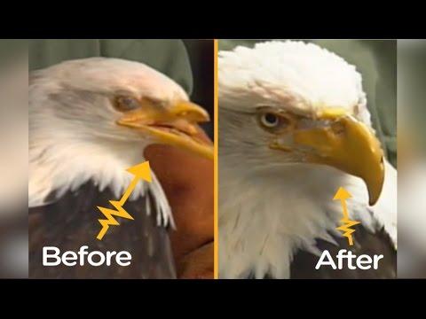Bald Eagle Shot In The Face Gets 3D-Printed Beak | The Dodo Tech